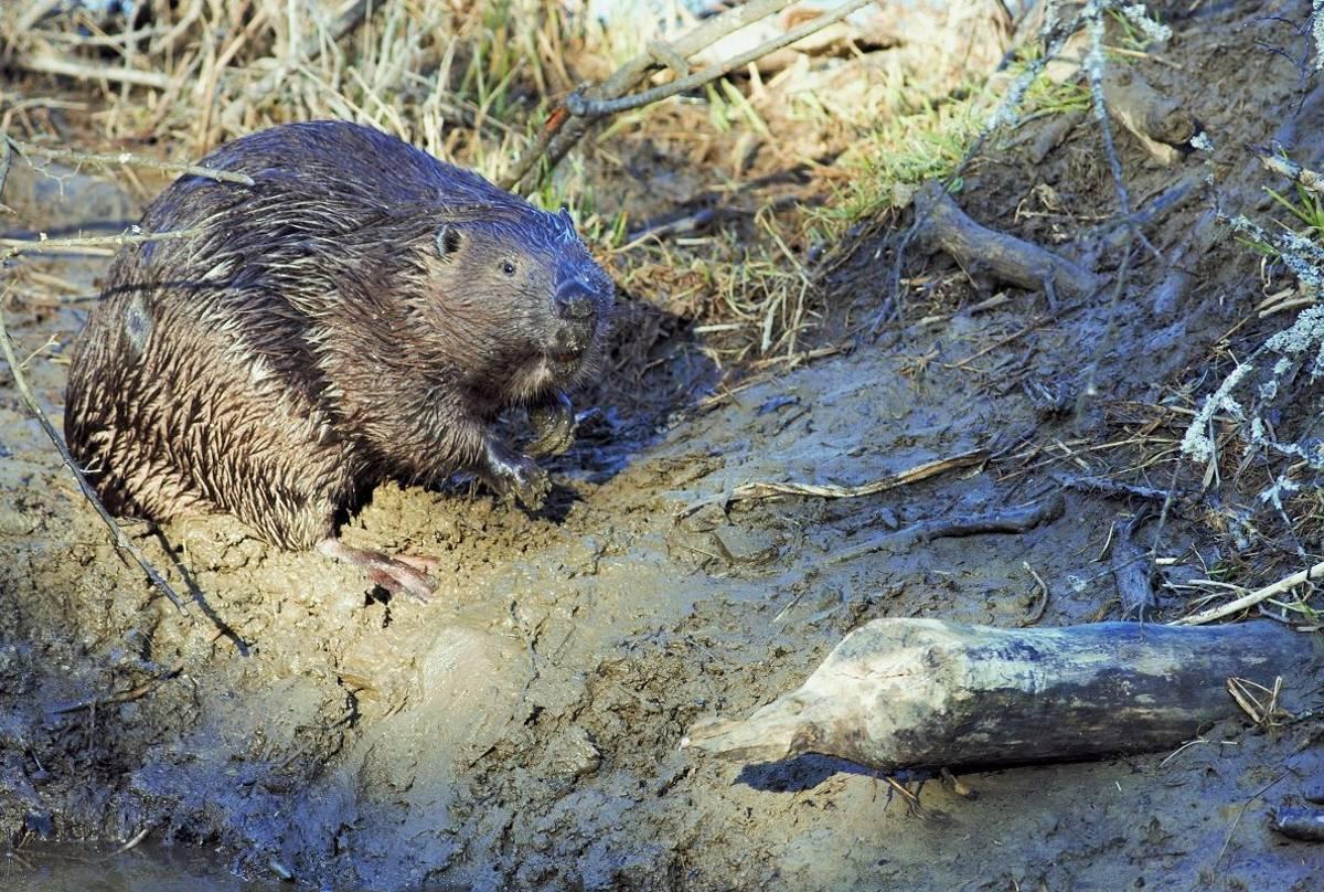 Beaver (Jan Kelchtermans)