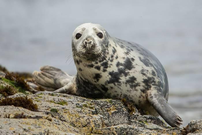 Grey Seal shutterstock_1396214933.jpg