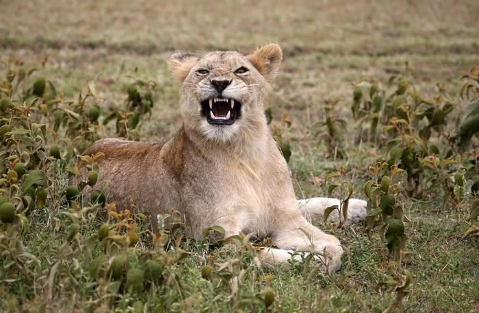 Lioness (Karen Malte Nielsen)