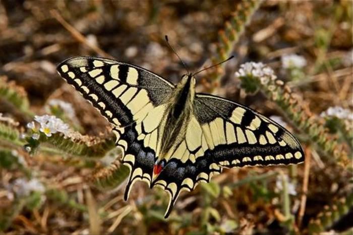 Swallow-tailed Butterfly (Karen Meyer)