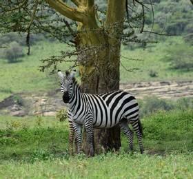 Game drives in Lake Nakuru National Park