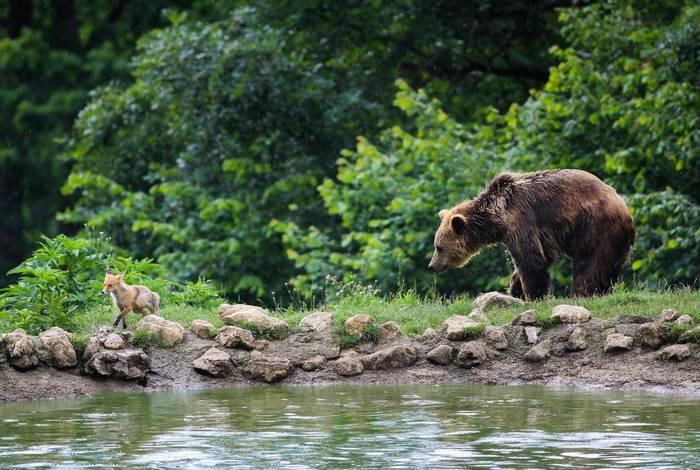 Brown Bear Red fox romania shutterstock_150849806.jpg