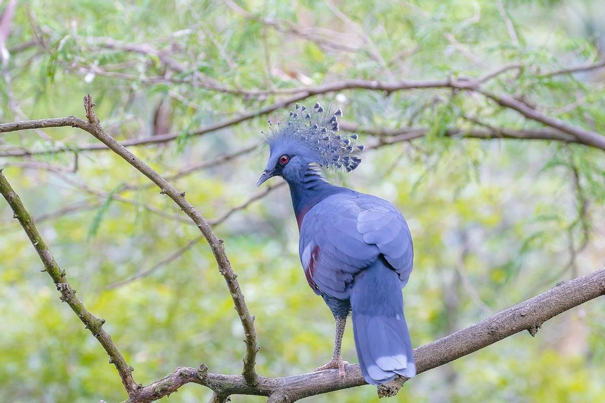 Victoria Crowned Pigeon, Papua New Guinea Shutterstock 1012083013