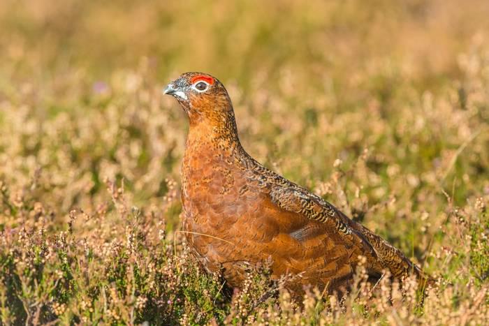 Red Grouse, UK shutterstock_1195252153.jpg