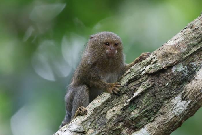 Pygmy Marmoset (Andrew Lapworth).jpg