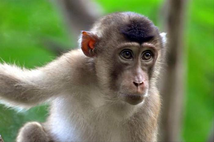 Pig-tailed Macaque (Derek Brown)