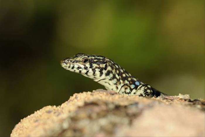 Tyrrhenian Wall Lizard (David Morris)