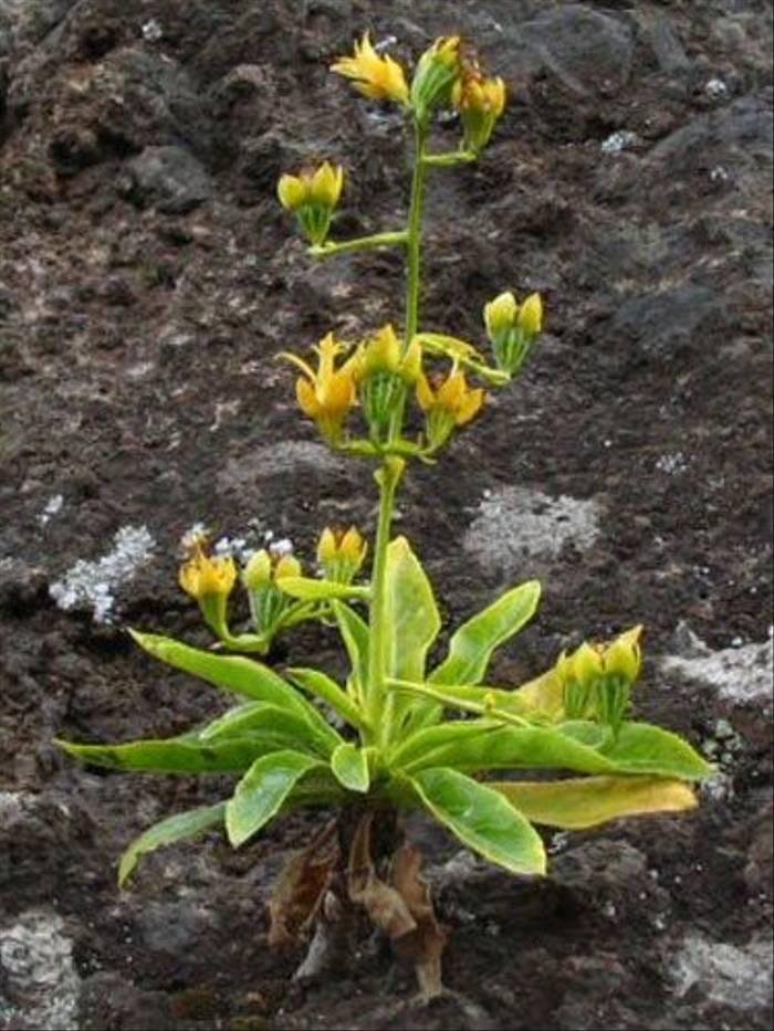 Musschia aurea - Golden Musschia (Paul Harmes)