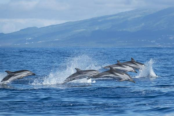 Atlantic Striped Dolphins, Azores Shutterstock 669371284