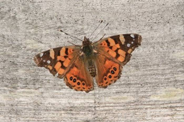 Southern Painted Lady (Alan Henry)
