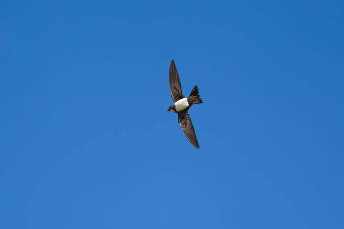 Alpine Swift Shutterstock 277867463