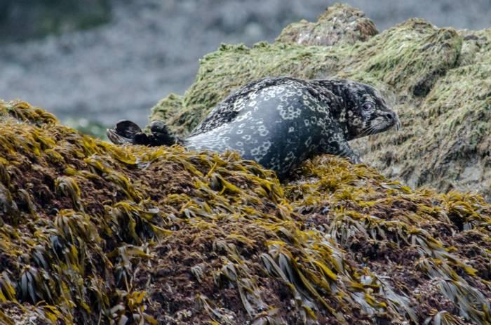 Stejneger's Harbour Seal (Tim Melling).jpg