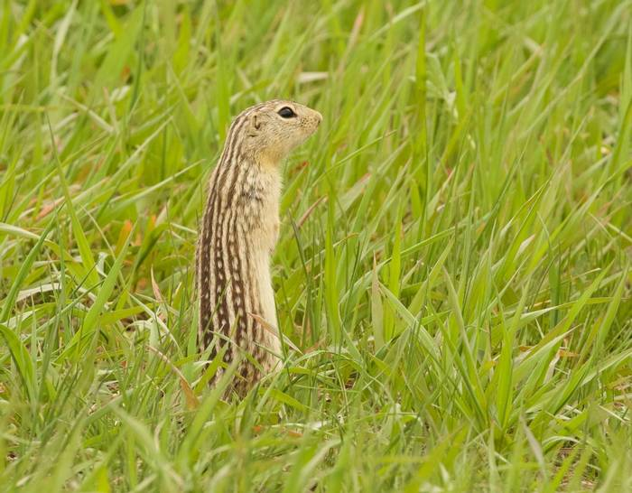 Thirteen-lined Ground Squirrel (New Town).jpg