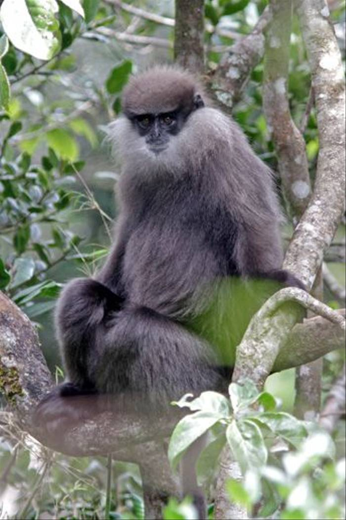 Purple-faced Leaf Monkey highland form (John Young)