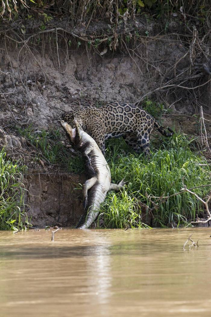 Jaguar and Caiman (Russell Millner)