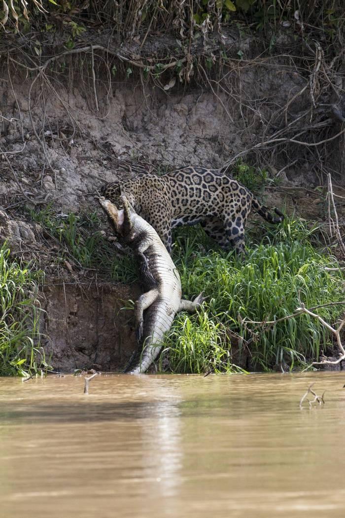 Jaguar and Caiman (Russell Millner)