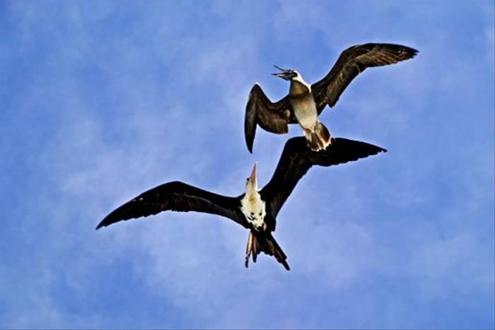 Great Frigatebird and Brown Booby (Martin Harvey)