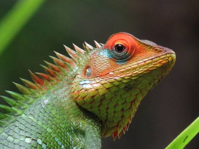 Green Garden Lizard (David Hartill)