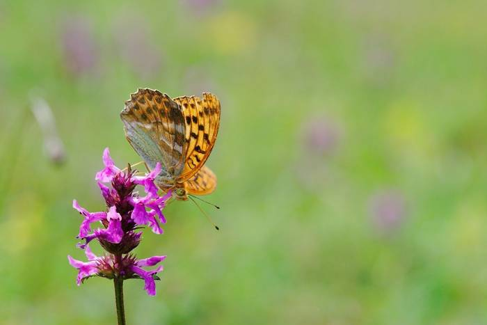 Brenthis daphne and orchid, France shutterstock_52566691.jpg
