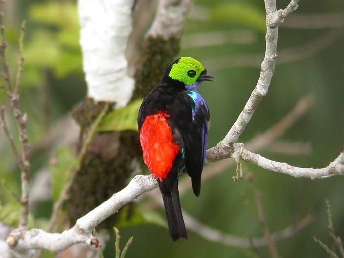 Ecuador And Galapagos (Paradise Tanager)