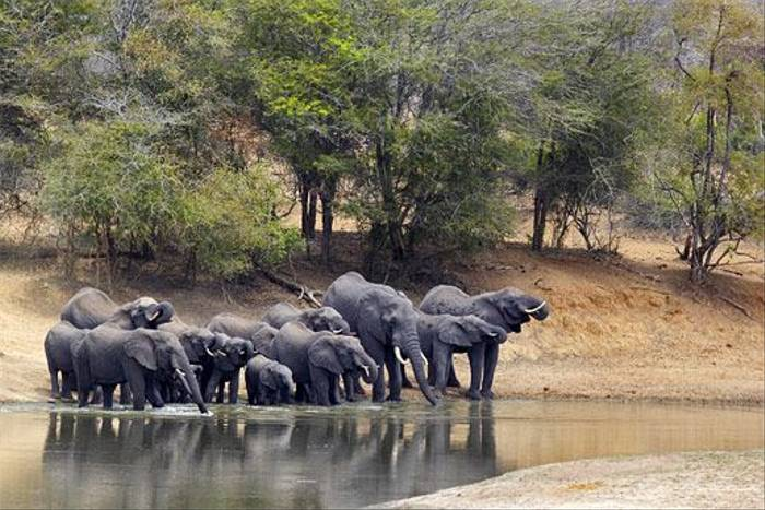 Elephants drinking (Leon Marais)