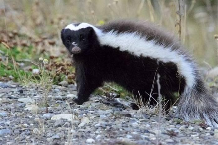 Humboldt's Hog-nosed Skunk (Ian Bruce)