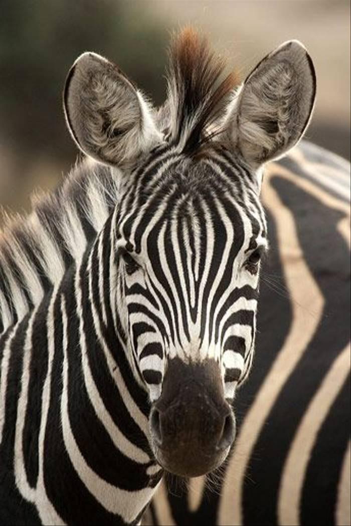 Zebra, Burchell's (Leon Marais)