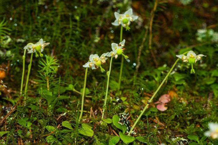 One-flowered Wintergreen shutterstock_1079584826.jpg