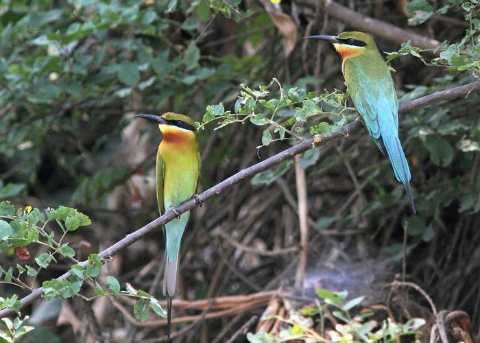 Blue-tailed-Bee-eaters-(Neil-McMahon).jpg