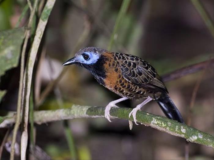 Ocellated Antbird (David Tipling)