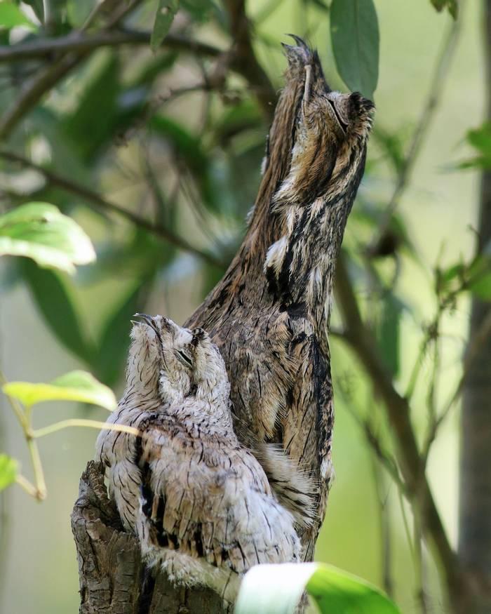 Common Potoo and chick (Robert Davidson).JPG