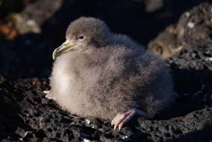 Corys's Shearwater chick (Ed Drewitt)