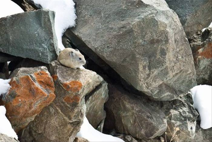 Royle's Pika, Ladakh (Russell Scott)