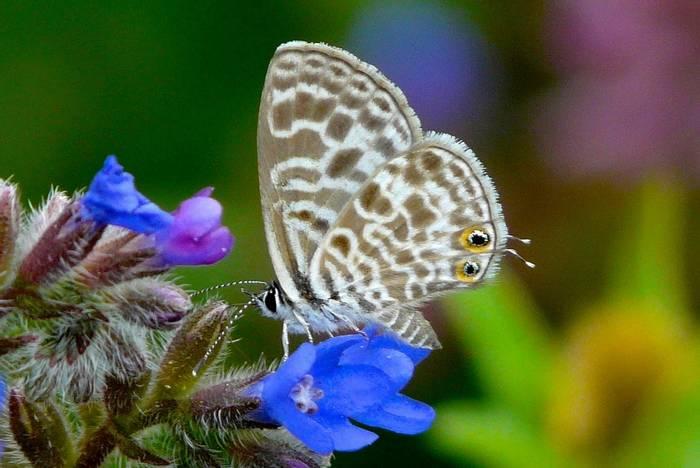 Langs Short-tailed Blue (Peter Waterton)