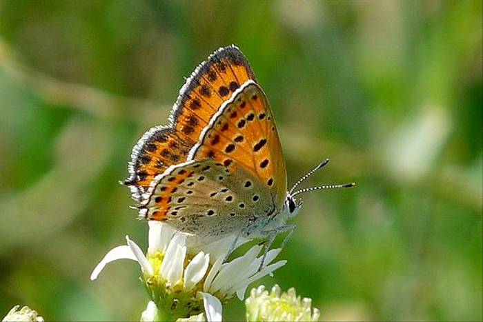 Lesser Fiery Copper (David Ferguson)