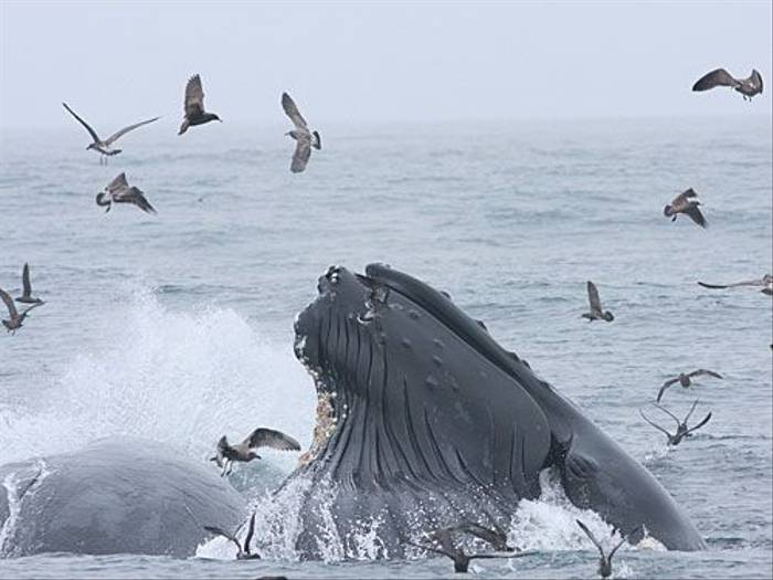 Humpback lunge feeding (Peter Dunn)