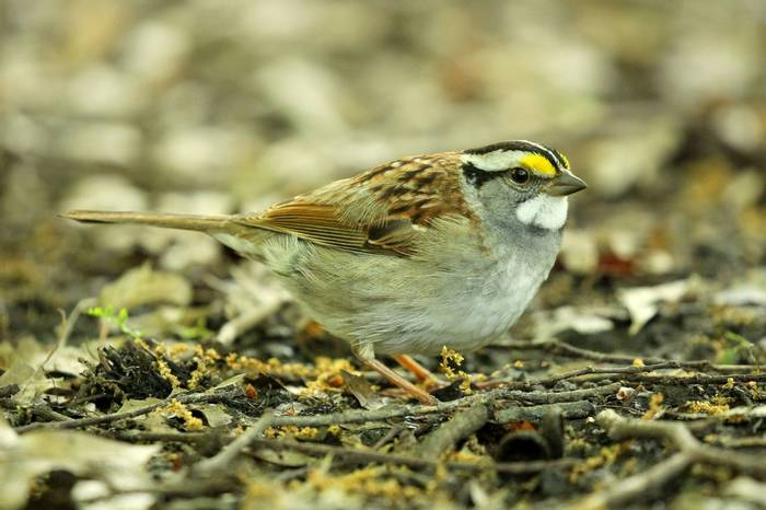 White-throated Sparrow (James Lees)