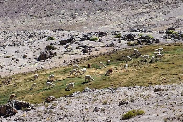 Alpacas on hillside (David Allison)