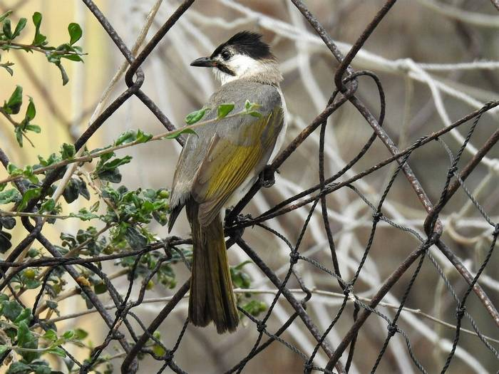 Styan's Bulbul by Martin Overy