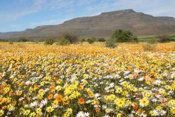 Wild Flowers Namaqualand South Africa Shutterstock 543365341