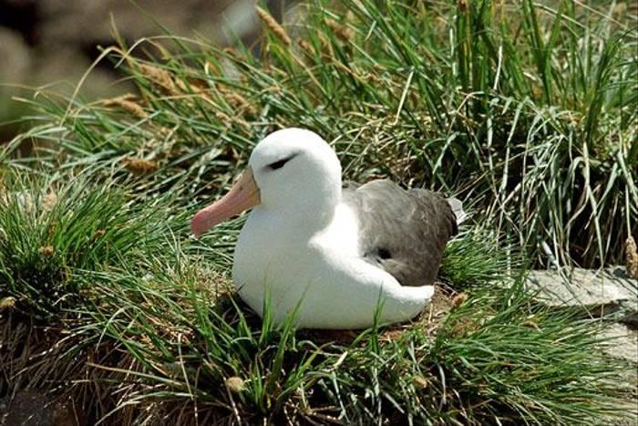 Blackbrowes Albatross (Dave Shute)