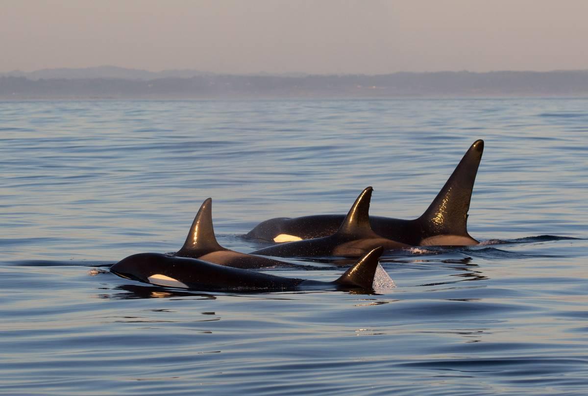 Orcas shutterstock_408278536.jpg