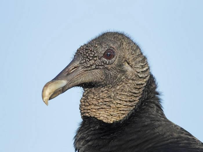 American Black Vulture (Kevin Elsby)