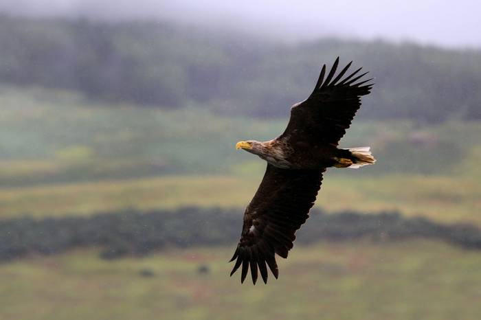 White Tailed Eagle Shutterstock 211991923