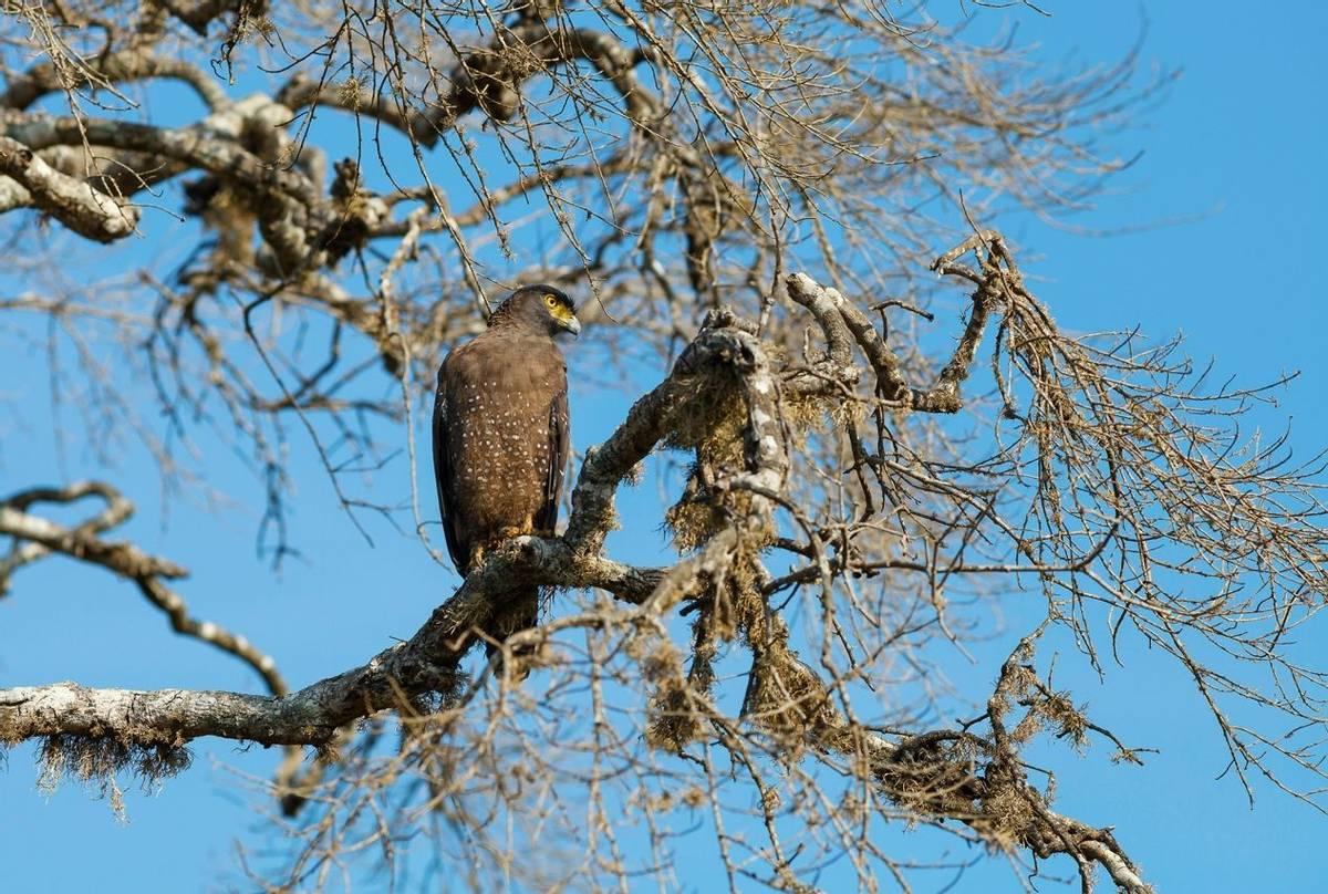 Crested Serpent Eagle, Sri Lanka shutterstock_501367636.jpg