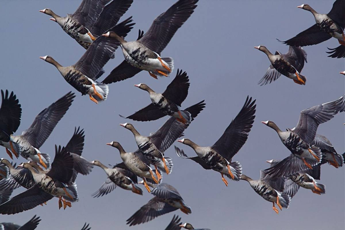 Greater White Fronted Geese Shutterstock 114021949