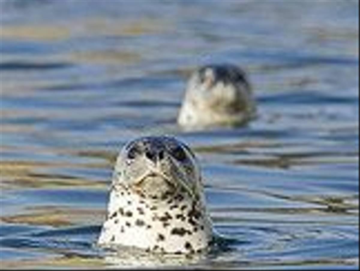 Largha Seals (Paul Marshall)