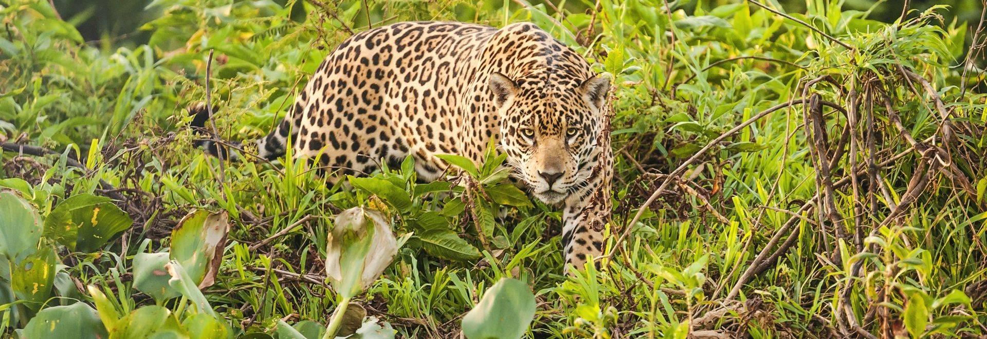 Brazil (Jaguar)
