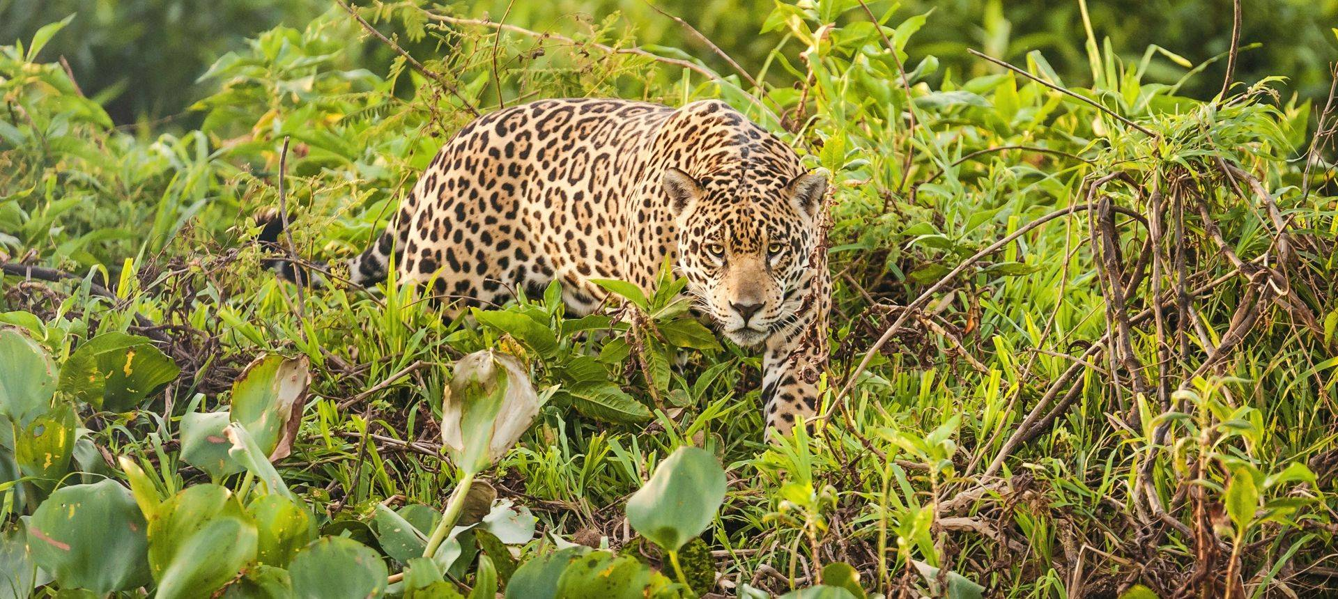 Brazil Just Jaguars