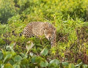 Brazil - Just Jaguars!